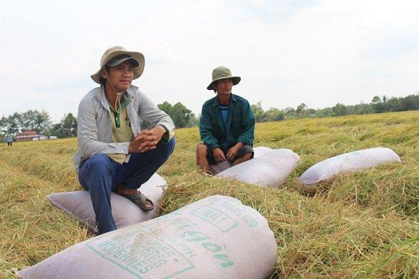 Dự báo xuất khẩu gạo sẽ hồi phục