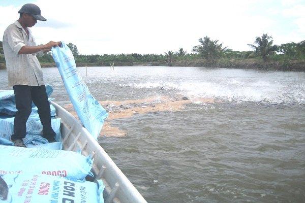 Giá cá tra nguyên liệu quay đầu lao dốc mạnh. Ảnh: Trung Chánh