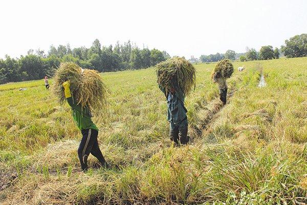 """Chúng ta đã ưu tiên """"quá lâu"""" cho cây lúa. Ảnh: Thành Hoa"""