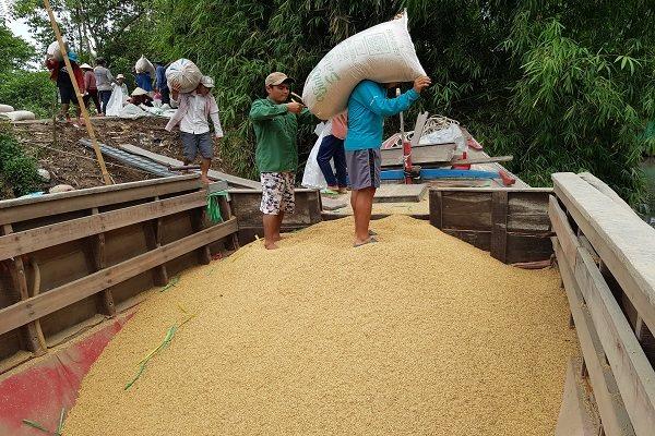 Xuất khẩu gạo sang Trung Quốc giảm mạnh do quốc gia này thay đổi chính sách nhập khẩu. Trong ảnh là nông dân Tiền Giang chuyển lúa xuống ghe đi tiêu thụ. Ảnh: Trung Chánh