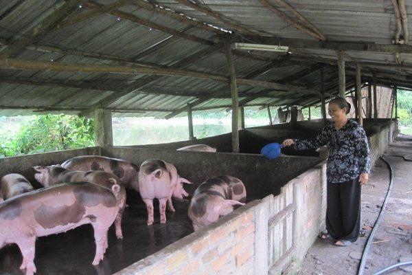 Nông dân chăn nuôi được hỗ trợ 30.000 đồng/kg khi có heo bị tiêu hủy do dịch tả châu Phi. Ảnh: Trung Chánh