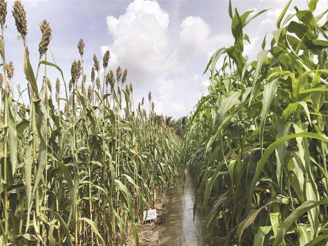Cây cao lương sinh khối trồng tại Cù Lao Dung, Sóc Trăng.