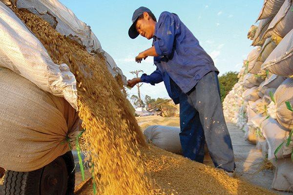 Trăn trở hạt gạo Việt Nam