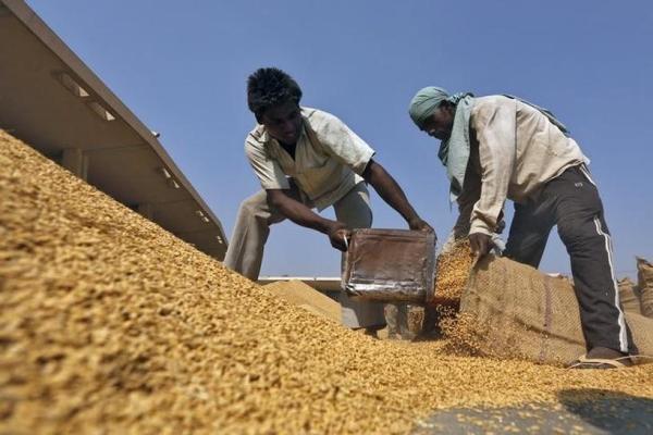 Công nhân xúc lúa vào bao ở một sân phơi của một nhà kho thuộc Ủy ban thị trường nông sản Ấn Độ tại bang Ahmedabad, Ấn Độ. Ảnh: Reuters