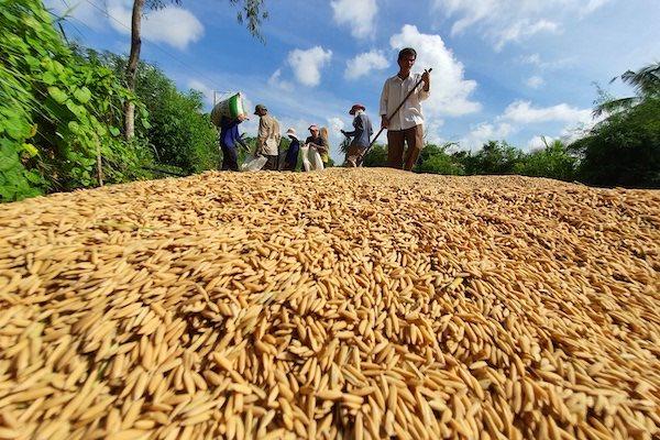 Nhiều doanh nghiệp bán nông sản sang Trung Quốc nhưng chưa hiểu rõ thị trường này. Vận chuyển lúa đi tiêu thụ. Ảnh: Trung Chánh