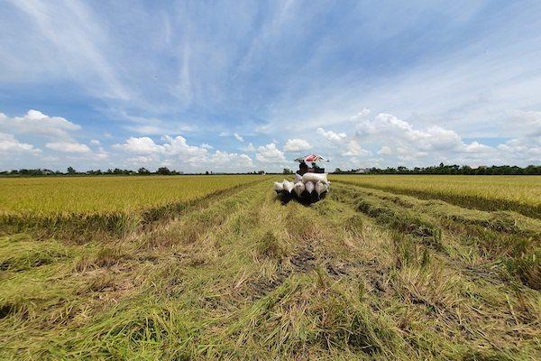 Nông dân thu hoạch lúa trong mô hình cánh đồng lớn. Ảnh: Trung Chánh