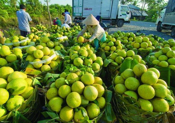 Việc các địa phương thực hiện nới lỏng giãn cách xã hội sẽ tạo điều kiện cho doanh nghiệp phát huy được hết vai trò, kể cả việc tổ chức thu mua hàng nông sản. Ảnh minh họa: Bích Loan